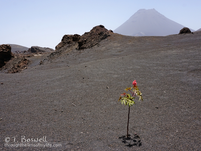 DSC00294-3-4x3-volcano-pico-do-fogo-cape-verde-castor-oil-plant-ash-lava-terry-boswell-wm