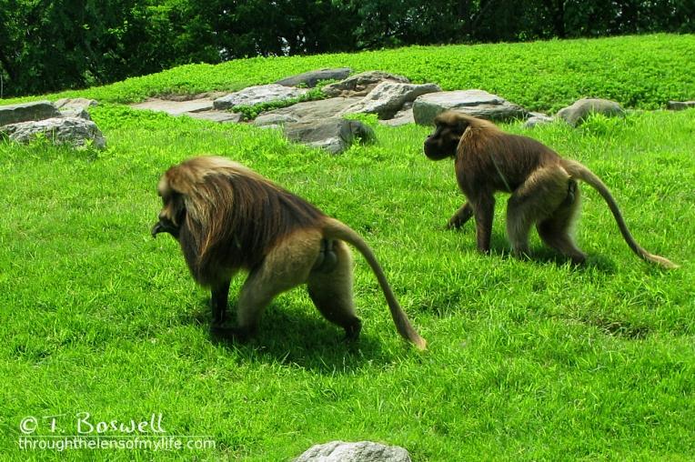 IMG_2853-4-3x2-baboons-bronx-zoo-wm