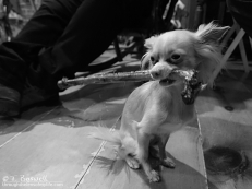 DSC05835-2-bw-4x3-little chihuahua-big-rib-bone-wm