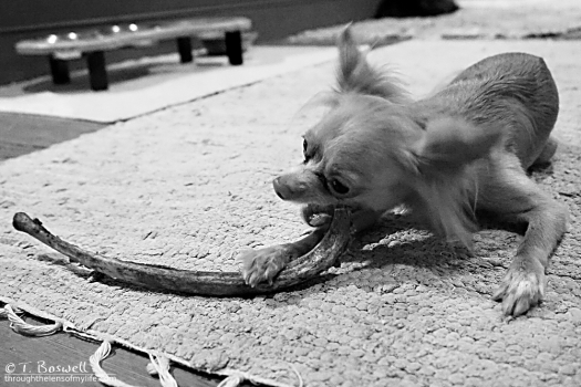 DSC05875-2-bw-3x2-ittle-dog-big-rib-bone-wm