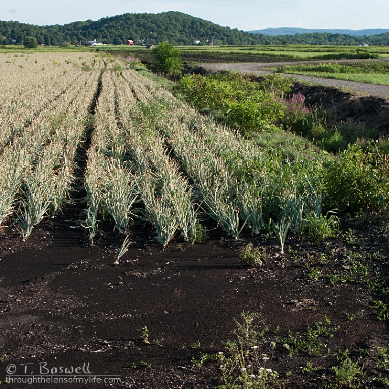 20110816-IMG-4590-1c-1x1-black-dirt-onion-field-pine-island-ny-wm